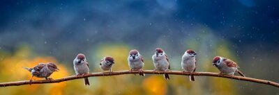 Naklejka natural panoramic photo with little funny birds and Chicks sitting on a branch in summer garden in the rain