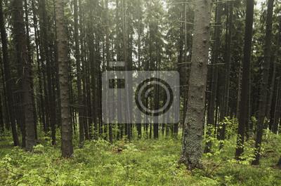 naturalny las sosnowy, zielony krajobraz