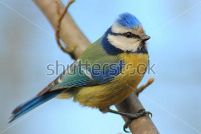 Naklejka Niebieski cycek na gałęzi przodu piękne tło