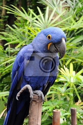 Niebieski Hiacynt ara