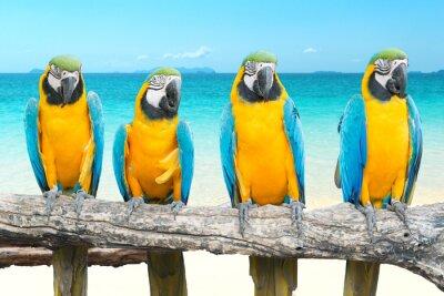 Naklejka Niebieski i Gold ara na tropikalnej pięknej plaży i morza