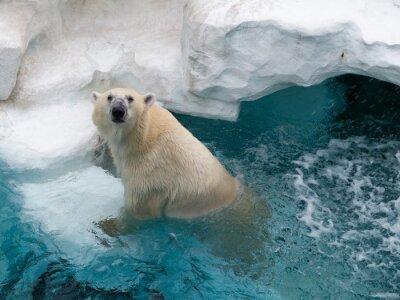 Naklejka Northern niedźwiedź polarny