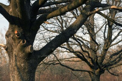 old oak trees in the city park without leaves