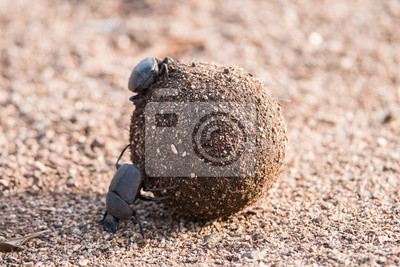 Naklejka One dung beetle rolls a dung ball while another sits on it.