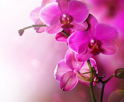 Orchid Flower granica