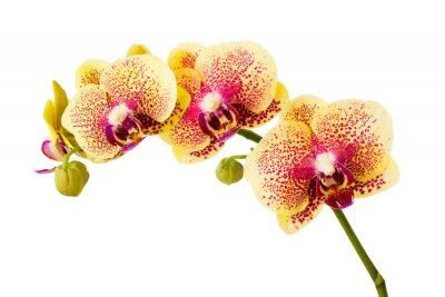 Naklejka Orchid flowers isolated on white background.