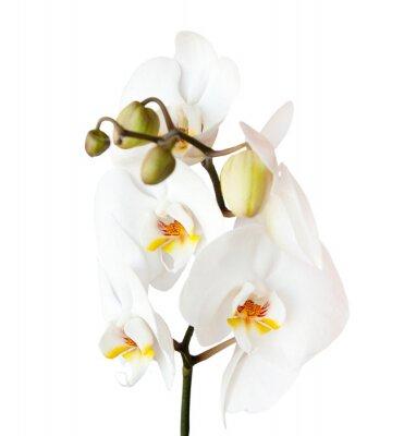 Naklejka orchidea, odizolowane na białym tle