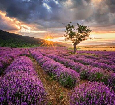 Naklejka Oszałamiająca krajobraz z pola lawendy o wschodzie słońca