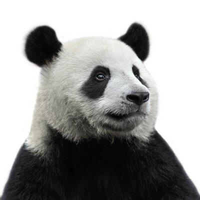 Naklejka Panda Bear na białym tle