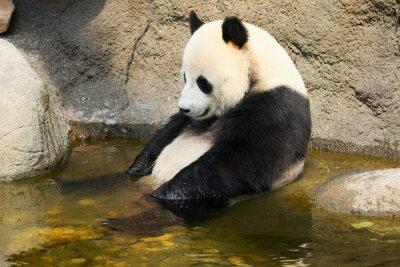 Naklejka Panda siedzi w wodzie