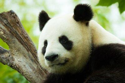 Naklejka Panda śpi