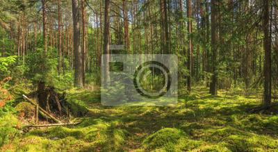 Panoramiczny widok lato zieleni las. Krajobraz niesamowitych lasów. Mech, sosny i drzewa w lesie na jasny słoneczny dzień.