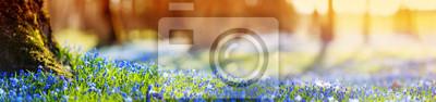 Naklejka Panoramiczny widok na wiosenne kwiaty w parku. Scilla okwitnięcie na pięknym ranku z światłem słonecznym w lesie w Kwietniu