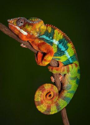 Naklejka Panther Chameleon at rest