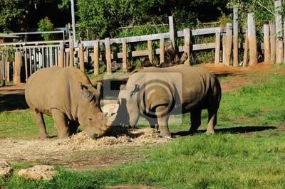 pary nosorożców