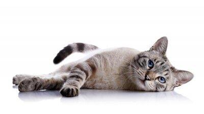 Naklejka Paski niebieskooki kot leży na białym tle.