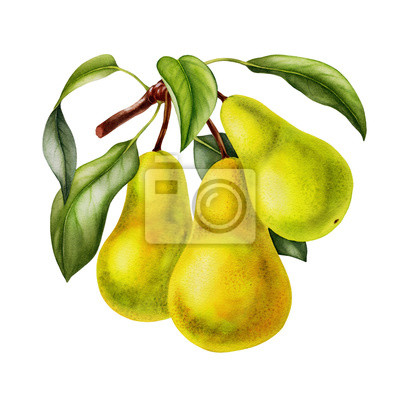 Naklejka pear fruits realistic botanical watercolor illustration with tree branch leaves. ripe juicy isolated hand painted