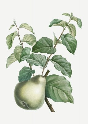 Naklejka Pear on a branch