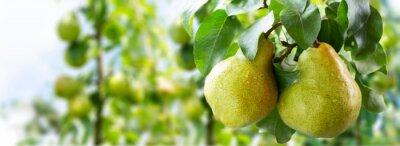 Naklejka Pear tree. Ripe pears on a tree