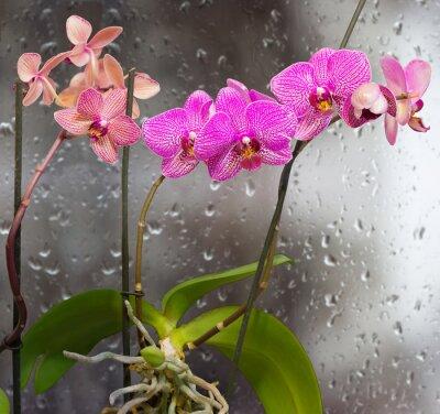 Naklejka Pędy z kwiatów orchidei na oknie w tle z kroplami deszczu