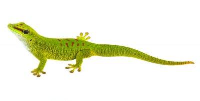Naklejka Phelsuma madagascariensis - gecko isolated on white