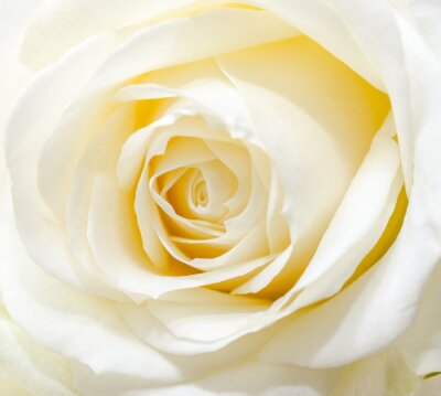 Naklejka Piękna biała róża