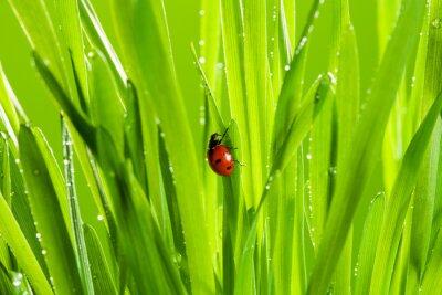 Naklejka Piękna biedronka na zielonej trawie