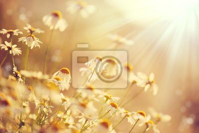 Piękna przyroda sceny z kwitnących chamomiles w rozbłysków słonecznych