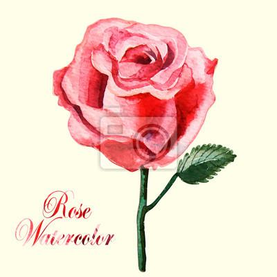 Piękne Akwarele róża na białym tle