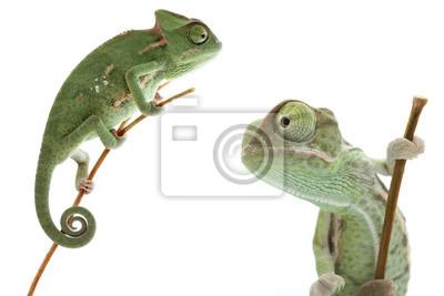 Naklejka Piękne dziecko kameleon jako egzotycznych pet jest izolowany na białym tle