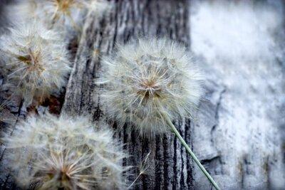 Naklejka Piękne nasiona mniszka lekarskiego - puszyste blowball