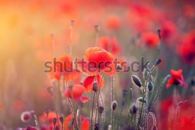 Naklejka Piękne pole czerwone maki w świetle słońca.