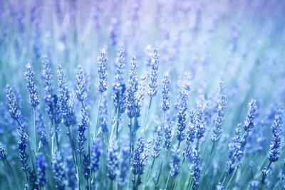 Naklejka Piękne rozmyte kwitnienia roślin lawendy bliska tle. Filtr niebieski kolor fioletowy i selektywnym focus używane.