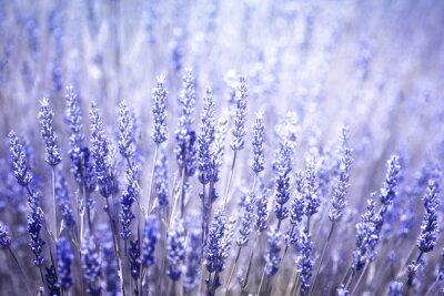 Naklejka Piękne rozmyte kwitnienia roślin lawendy bliska tle. Fioletowy kolor niebieski filtr i selektywnym focus używane.