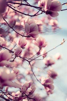 Naklejka Piękne różowe kwiaty magnolii