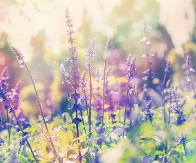 Naklejka piękne tło lato, lawendowego pola, z bliska