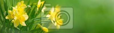 Naklejka Piękne tło wiosna panoramiczne kwiaty żonkile