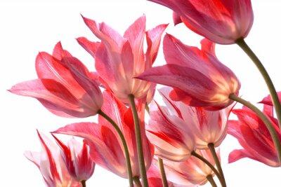 Naklejka Piękne tulipany .
