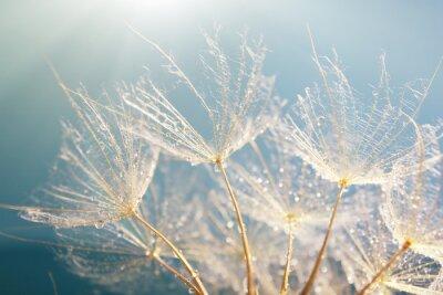 Naklejka Piękny dandelion z nasion, makro widok