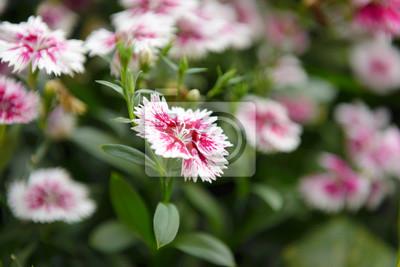 Naklejka Piękny kwiat Dianthus (Dianthus chinensis) kwitnący w garderobie