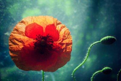 Naklejka Piękny kwiat maku przed jasno oświetlonym zielone tło, podświetlenie