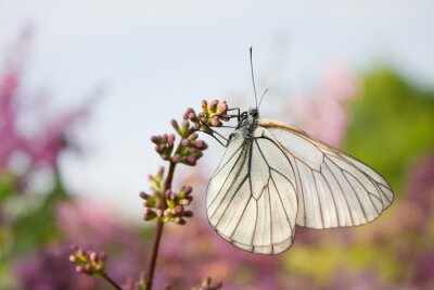 Naklejka piękny motyl na kwiatach bzu