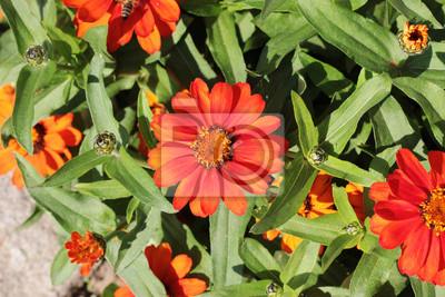 Piękny pomarańczowy kwiat w ogrodzie letnim w otoczeniu zielonych
