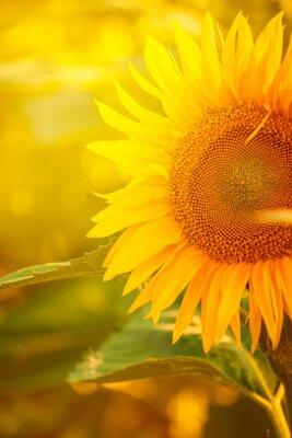 Naklejka Piękny Słonecznik w dziedzinie