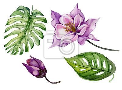Piękny tropikalny zestaw kwiatowy (fioletowy aquilegia, pączek i liści). Colourful kolombiny kwiat i zieleń liście odizolowywający na białym tle. Malarstwo akwarelowe.