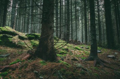 pine tree forest landscape, natural mossy forest woth old trees