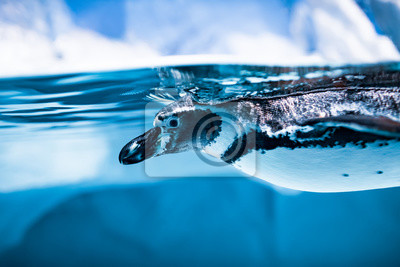 Pingwin Humboldta (Spheniscus humboldti)