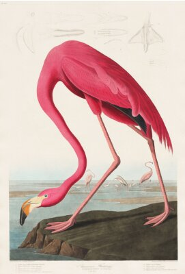 Naklejka Pink Flamingo from Birds of America (1827) Johna Jamesa Audubona (1785 - 1851), trawione przez Roberta Havella (1793 - 1878)