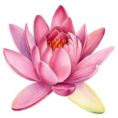 Naklejka Pink lotus flower on an isolated white background, watercolor clipart, water lily