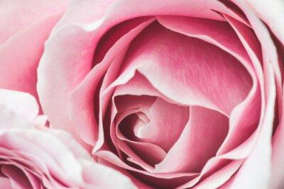 Naklejka Pink Rose Flower z płytkiej głębi ostrości i skupić się na środku róży kwiat